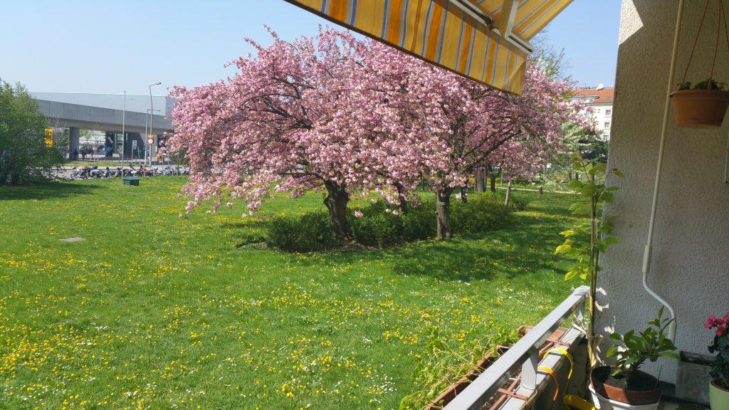 KirschblüteLöwenzahn