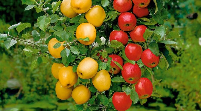 Apfel Duo: Cox Orange und Golden Delicious