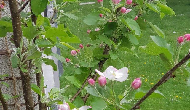 Currykraut (Helichrysum italicum) – Steckbrief – Eigenschaften und Verwendung