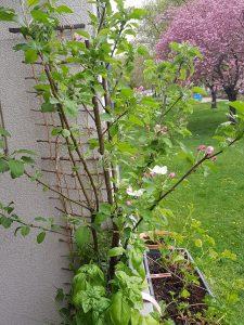 Apfel-Kirschblüte, eigenes Foto
