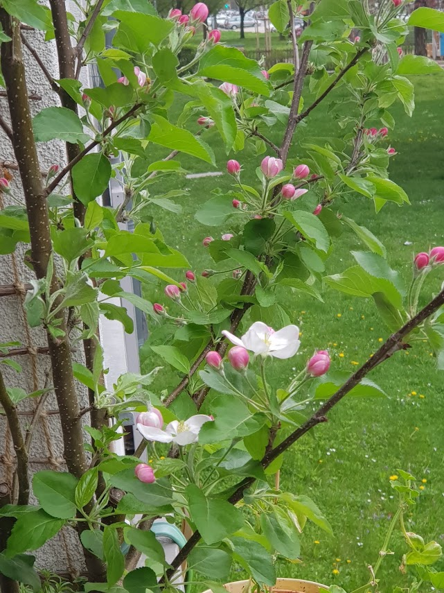 Apfelblüte eigenes Foto
